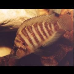ALTOLAMPROLOGUS compressiceps Kigoma