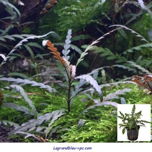 Hygrophila pinnatifida Tropica 1-2 Grow