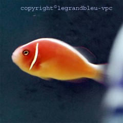 AMPHIPRION perideraion poisson clown rose et blanc