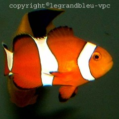 AMPHIPRION ocellaris le couple