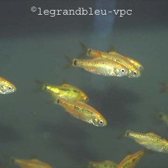 BARBUS schuberti (syn. barbus semifasciolatus, puntius guntheri)