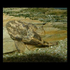 ANCISTRUS dolychopterus adulte
