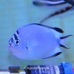 GENICANTHUS watanabei femelle