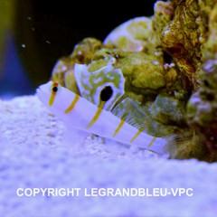 AMBLYGOBIUS randalli petit gobie marin rayé blanc et jaune