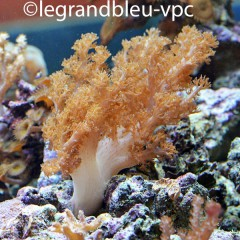 ALCYONIUM SP grosses tentacules ( Klyxum sp )