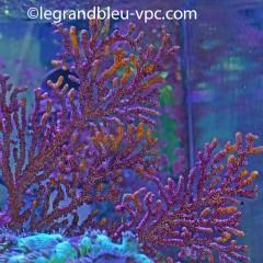 ACANTHOGORGIA sp. violet et jaune