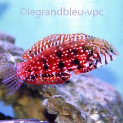 MACROPHARYNGODON lapillus, petit labre rouge et bleu pour aquarium recifal